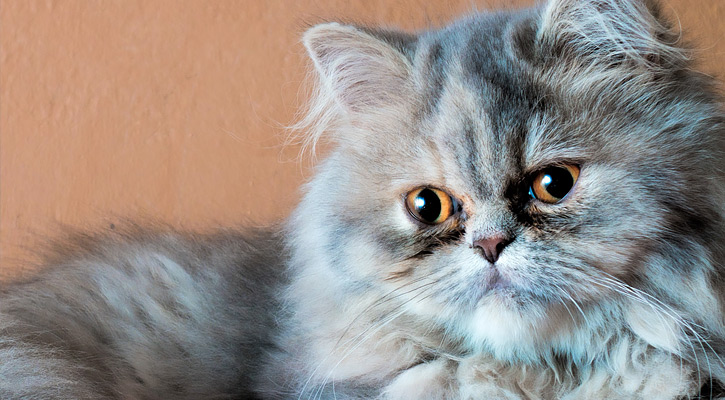 Persian Cats | (very interesting facts) about the oldest