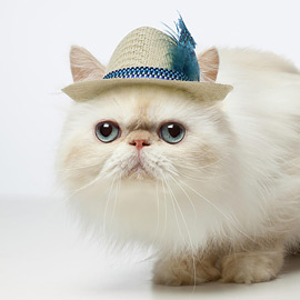 Cute Persian Cat