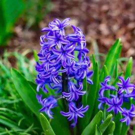 Sonbol Flower